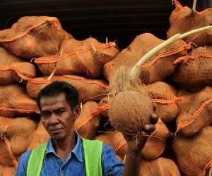 Ternyata 25 Kontainer Kelapa yang di Tolak Thailand karena Bertunas
