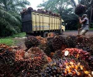 Ekspor Minyak Sawit Indonesia ke India Melonjak 51 Persen