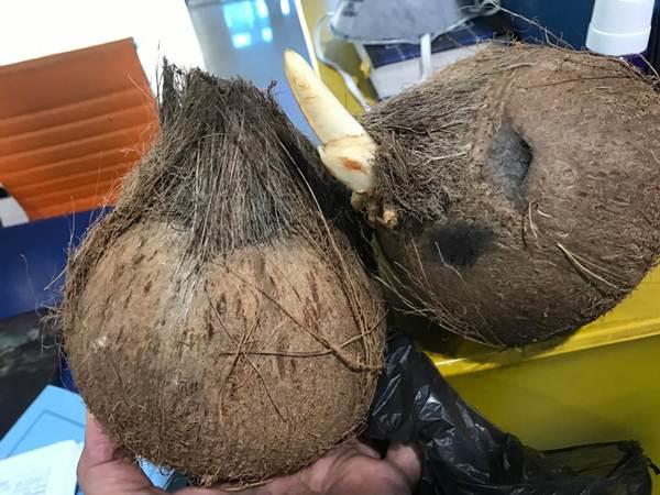 Ekspor 33 Kontainer Kelapa Asal Sumsel Ditolak Thailand