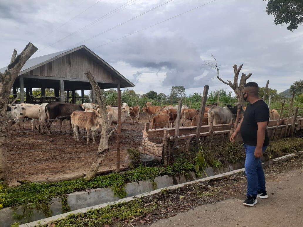 Lembu Kelaparan; YARA Lapor Kepala UPTD Saree ke Polda